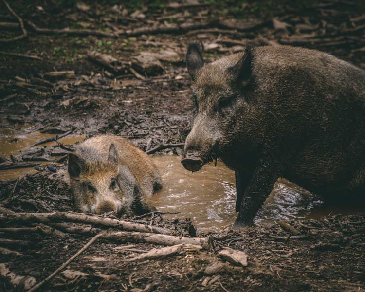 wildschweine unfall - Ein Wildunfall kann jeden treffen: So verhalten Sie sich richtig!